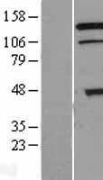 NBL1-15444 - TRIAD3 Lysate