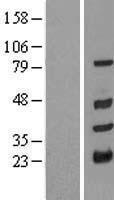 NBL1-17274 - TRIM10 Lysate