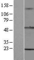 NBL1-17278 - TRIM15 Lysate