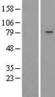 NBL1-17280 - TRIM2 Lysate