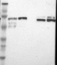 NBP1-84891 - TRIM25 / RNF147