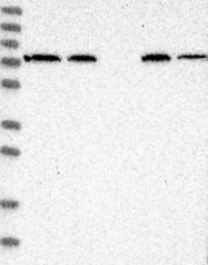 NBP1-83909 - TRIM26 / RNF95