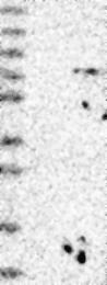 NBP1-83910 - TRIM26 / RNF95