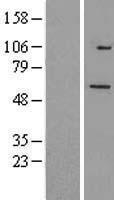 NBL1-17286 - TRIM26 Lysate