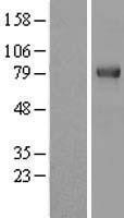NBL1-17290 - TRIM3 Lysate