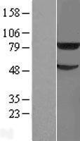 NBL1-17291 - TRIM31 Lysate