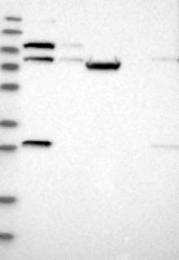 NBP1-92529 - TRIM37