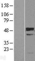 NBL1-17294 - TRIM38 Lysate