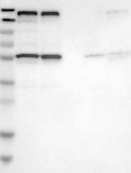 NBP1-80824 - TRIM4 / RNF87