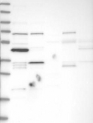 NBP1-81227 - TRIM41 / RINCK