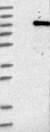 NBP1-81228 - TRIM41 / RINCK