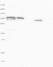 NBP1-83459 - TRIM42