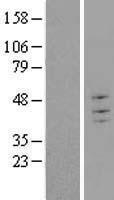 NBL1-17298 - TRIM43 Lysate