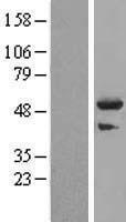 NBL1-17299 - TRIM44 Lysate
