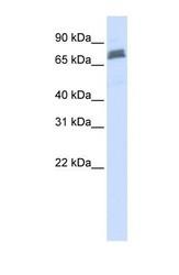 NBP1-53109 - TRIM45 / RNF99