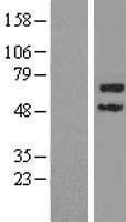 NBL1-17300 - TRIM45 Lysate