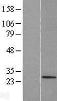 NBL1-17301 - TRIM48 Lysate