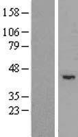 NBL1-17303 - TRIM5 Lysate