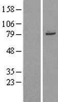 NBL1-17307 - TRIM56 Lysate