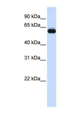 NBP1-55076 - TRIM60 / RNF129 / RNF33