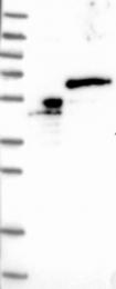 NBP1-83863 - TRIM68 / RNF137