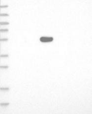 NBP1-86000 - TRIM72 / MG53