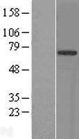 NBL1-17316 - TRIM9 Lysate