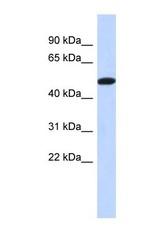 NBP1-56795 - TRIML2 / SPRYD6