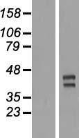 NBL1-17317 - TRIML2 Lysate