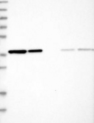 NBP1-84873 - EIF3I / EIF3S2