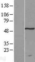 NBL1-17322 - TRM11 Lysate