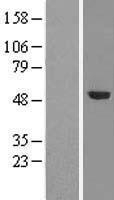 NBL1-17324 - TRMT5 Lysate