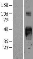 NBL1-16675 - TROP2 Lysate