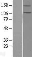 NBL1-17334 - TRPC5 Lysate