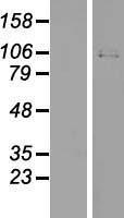 NBL1-17343 - TRPV4 Lysate