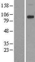 NBL1-17344 - TRPV4 Lysate