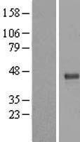 NBL1-17347 - TRUB1 Lysate