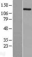 NBL1-17350 - TSC1 Lysate