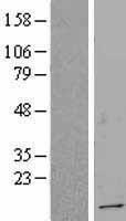 NBL1-17351 - TSC22D1 Lysate