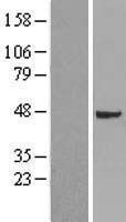 NBL1-17358 - TSG101 Lysate