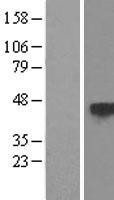 NBL1-17365 - TSP50 Lysate
