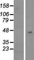 NBL1-17370 - TSPAN17 Lysate