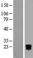 NBL1-17371 - TSPAN18 Lysate