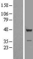 NBL1-17391 - TSSC1 Lysate