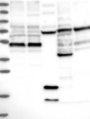 NBP1-85838 - TSSC4