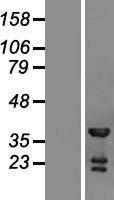 NBL1-17392 - TSSC4 Lysate