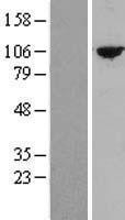 NBL1-17403 - TTC27 Lysate