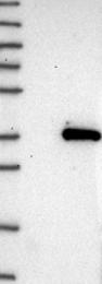 NBP1-82469 - TTC33
