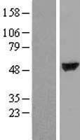 NBL1-17410 - TTC38 Lysate