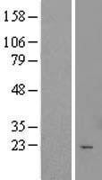 NBL1-17414 - TTC9C Lysate